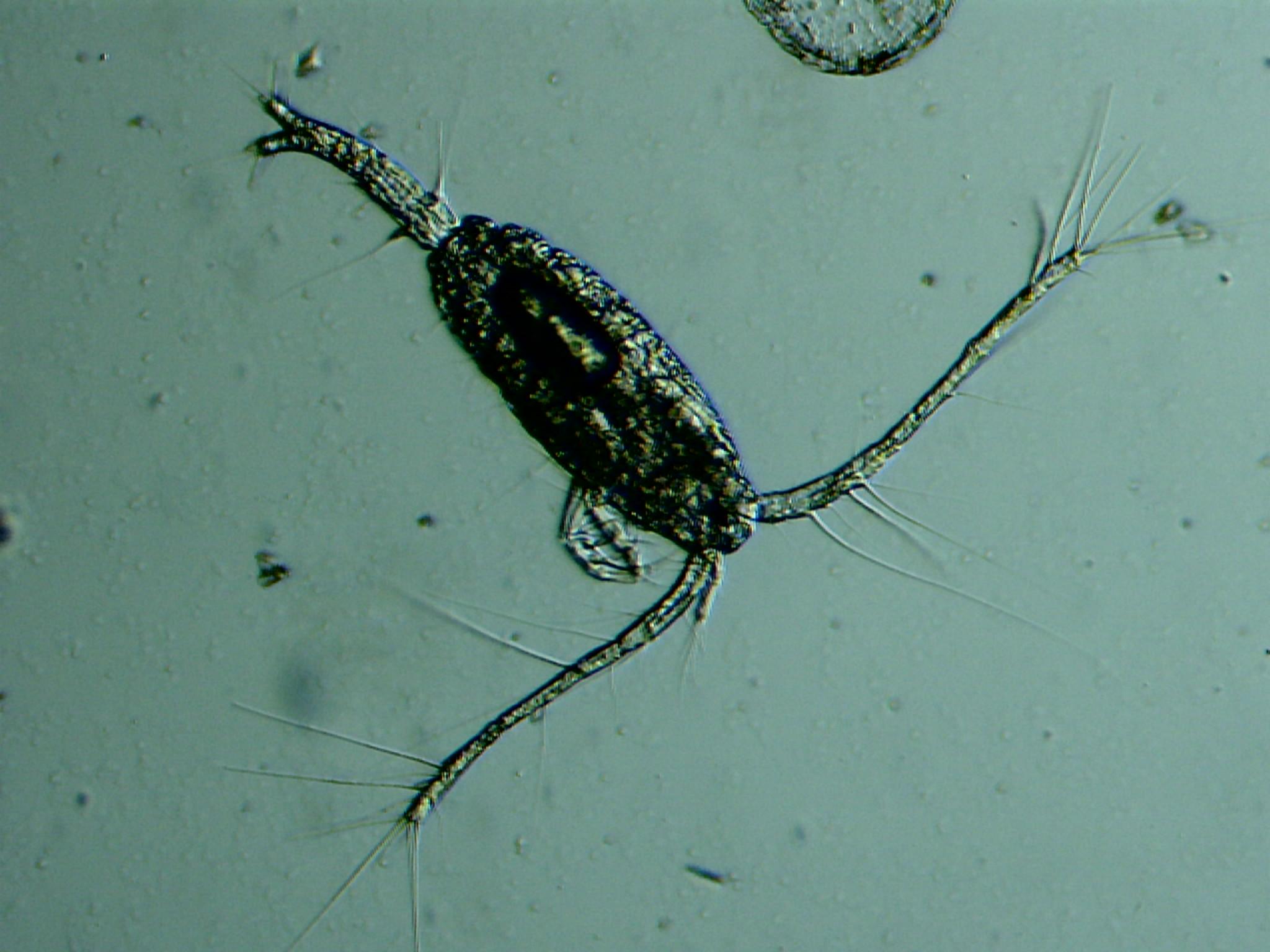Plancton du Monde : phytoplancton zooplancton finistère